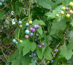 Porcelain Berries (barrob photos) Tags: berries porcelainberries berry