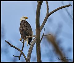 American Bald Eagle at Loess Bluffs National Wildlife Refuge - No 1 (Nikon66) Tags: loessbluffsnationalwildliferefuge snowgeese eagle hawk holtcounty forestcity moundcity missouri nikon d850 600mmnikkor