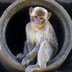 Macaque in the tube thumbnail