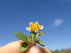 Bidens pilosa flower NC13 (Macleay Grass Man) Tags: asteraceae bidens pilosa cobblers pegs devils pitchforks farmers friends taxonomy:binomial=bidenspilosa flower head