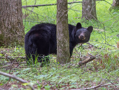 Mama bear (TDog54Photography / TCS Photography) Tags: black bear bears smoky mountains tennessee cades cove wildlife wild life animal american north america ursus americanus animals forest national park great
