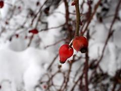 csipkebogyó / rose hip (debreczeniemoke) Tags: tél winter hó snow fehér white erdő forest bokor bush bogyó fruit vörös red berry csipkebogyó rosehip rosacanina olympusem5