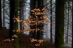 Feuilles dorées sur fond brumeux. (Tormod Dalen) Tags: forest forêt wood nature fog brume mousse moss pentax limited