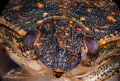 Stink bug 1-8-19 (Boydz Photography) Tags: invertebrate insect stinkbug bug extreme macro macroextreme