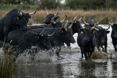 On-a-Top (MrBlackSun) Tags: blackbull black bull camargue southfrance france provence nikon d850