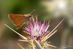 Skipper (Mandyjj543) Tags: skipper skippers moth butterfies nature wildlife wings canon