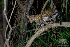Ocelot (fascinationwildlife) Tags: animal mammal wild wildlife nature natur pantanal ocelot ozelot predator cat elusive feline night nocturnal djungle forest encounter brasilien brazil south america südamerika