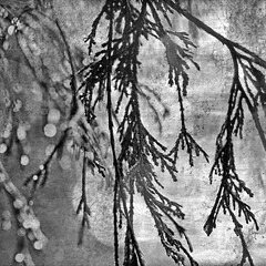 Guess I'll Hang My Tears Out To Dry (1crzqbn) Tags: outside mono bw bn dof bokeh sliderssunday inmygarden nature rain wet cedar drops macro textures