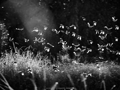 Flying birds in rice field (terkhomson) Tags: animal backlight bird countryside field flight fly flying forest green localforest many movement nature outdoor ricefield sunset sunshine wind wing