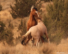 They fight a lot (calljohn3) Tags: steens oregon mustangs horses wild wildlife nature
