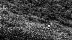 Drowning in the tea (Cédric Nitseg) Tags: nikon malasia people personne homme cameronhighlands human outdoor tea greelow malaisie voyage man bw thé noiretblanc travel worker vert hat travelling green d7000 blackandwhite backpacker plantation