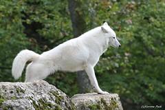Loup arctique (Passion Animaux & Photos) Tags: loup arctique arctic wolf parc animalier saintecroix france