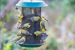 Yellow Finches Going Into A Feeding Frenzy (SCSQ4) Tags: birdfeeder birds california donutstreetmeet downtownlosangeles feedingfrenzy kennethhahnstaterecreationarea losangeles morning yellowfinch yellowfinches