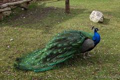 Please ... do the peacock thing ..... (Sockenhummel) Tags: münchen pfau peacock vogel bird tier zoo hellabrunn tierpark fauna fuji x30