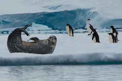 Smiling and waving and looking so fine... (Tim Melling) Tags: leptonychotes weddellii weddell seal ice iceberg antarctic timmelling