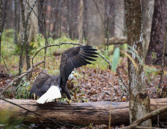 IMG_4895 (Alison Aslett) Tags: bald eagle stumpy lake virginia wildlife raptors bird