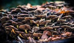 Vinex district (Ingeborg Ruyken) Tags: 2018 autumn october mushroom woods berlicum fungi fall flickr herfst ochtend morning wamberg 500pxs instagram forest oktober paddenstoel eikel natuurfotografie acorn fungus shertogenbosch bos