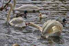 Bit of a domestic (markbangert) Tags: swan aggressive bite river water fx nikon d750