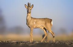 Leaking roe buck (Paula Darwinkel) Tags: roedeer deer buck animal wildlife nature dutch wildlifephotography
