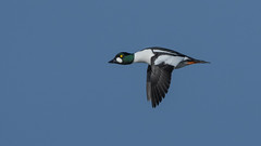 Goldeneye (JS_71) Tags: nature wildlife nikon photography outdoor 500mm bird new winter see natur pose moment outside animal flickr colour poland sunshine beak feather nikkor d500 wildbirds planet global national wing eye