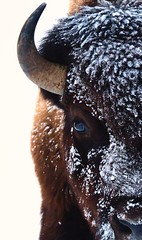 Bison in Yellowstone (Ray Mines Photography) Tags: