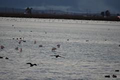 Últimas luces en el Delta (esta_ahi) Tags: deltadelebre atardecer capvespre latancada deltadelebro baixebre tarragona spain españa испания aves fauna