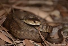 Rough-scaled Snake (Tropidechis carinatus. Newcastle, NSW. (Jesse's Wildlife) Tags: tropidechiscarinatus elapid venom jessecampbell jesseswildlife reptiles fauna australianherping australia newcastleherping herping roughscaledsnake snake