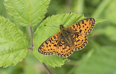 Small Pearl-bordered Fritillary (Boloria selene). (Bob Eade) Tags: smallpearlborderedfritillary boloriaselene butterfly lepidoptera eastsussex woodland wildlife nature nikon