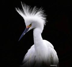 Snowy Egret (maom_1 (Off, most of the time)) Tags: snowywgret birds digital collage texture