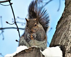 Meal For A Cold Day (prsavagec) Tags: squirrel squirrels animal peanut tree backyard winter snow outdoor february