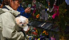 Sombre (M J Adamson) Tags: memorial mosqueshooting christchurchmosqueshooting christchurchmosqueterrorattacks christchurch canterbury nz newzealand people