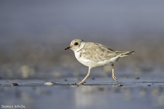 Hooded Dotterel (Jims Wildlife) Tags: hoodeddotterel bird australia wader thinornisrubricollis