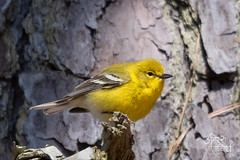 Amresh Vaidya Photography (Waah Waah Amresh) Tags: warbler pine bird yellow stumpy lake