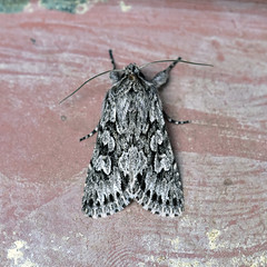 Early Grey ... Xylocampa areola (AndyorDij) Tags: earlygrey xylocampaareola lepidoptera moth insect andrewdejardin england empingham empinghammoths nationalmothweek rutland uk unitedkingdom