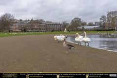 Geese, Swans & Palaces (andrewtijou) Tags: andrewtijou nikond7200 europe unitedkingdom uk england london hydepark kensingtonpalace lake roundpond