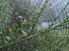Spider web (Home Land & Sea) Tags: nz newzealand hawkesbay spider web sonycybershot dschx100v pointshoot homelandsea explored