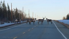 The Girls Out For An Evening Stroll (Katy on the Tundra) Tags: caribou reindeer spring