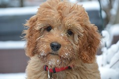 I love the snow (ENRYCH BUCKS A local charity bringing life, leisur) Tags: enrych photograghy group aylesbury bucks dog pet poochon