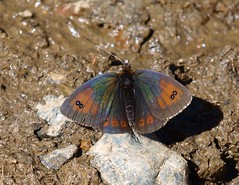 Erebia cassioides arvernensis (J Carrasco (mundele)) Tags: picosdeeuropa valledevaldeón pndelospicosdeeuropa insectos mariposas rhopalocera nymphalidae satyrinae satyrini erebia