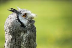 Please (Bram Meijer) Tags: birdofprey uil owl groen settelsroofvogels