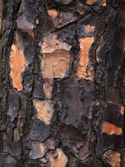 Wet Pine Bark (zeevveez) Tags: זאבברקן zeevveez zeevbarkan canon abstract