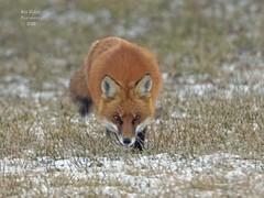 Red Fox in the Snow. (rumerbob) Tags: redfox fox animal warminsterpark wildlife wildlifephotographer wildlifewatcher nature naturewatcher naturephotography canon7dmarkii canon100400mmlens