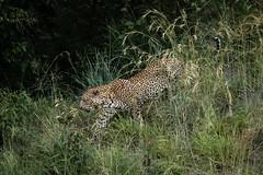 Evening Leopard (helenehoffman) Tags: africa kenya pantheraparduspardus felidae mammal conservationstatusvulnerable cat feline africanleopard leopard bigcat maasaimaranationalreserve animal coth coth5 ngc