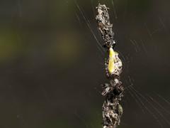 Cyclosa confusa (rainerbreitling) Tags: araneae araneidae cyclosa cyclosaconfusa spider japan okinawa 沖縄諸島 spinne spin araignée araña örümcek αράχνη クモ ryukyuislands nanseiislands