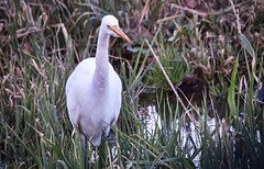 Great Egret 01-16 (robinlamb1) Tags: nature outdoor animal bird heron wader egret greategret field ditch grass water