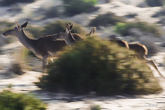 En carrera (José Luis Esteve) Tags: coto doñana corzos naturaleza campo rocío ciervos animales