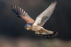 Kestrel (Steve D'Cruze) Tags: falco tinnunculus nikon d500 falcon sigma 150600mm