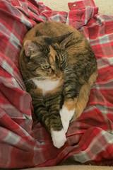 Gracie 21 November 2018 1494Ri 4x6 (edgarandron - Busy!) Tags: gracie patchedtabby cat cats kitty kitties tabby tabbies cute feline