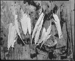(Attila Pasek (Albums!)) Tags: 8x10 vds bw 14inchf63 alliancecamerace film linefilm analogue feather stilllife agfa largeformat blackandwhite commercial kodak camera ektar vdscameramanufactory