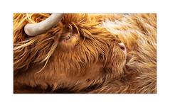 Just Gorgeous (but hairy) (Dave Fieldhouse Photography) Tags: lewis isleoflewis highlands highlandcow cow animal close telephoto hairy horn eye portrait scotland livestock fujifilm fujixt2 fuji wwwdavefieldhousephotographycom roadside hebrides